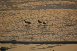 Sandpipers in golden light